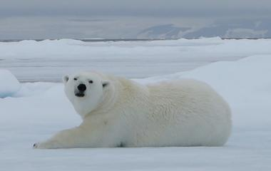 Polar bears leave clues behind in their footprints