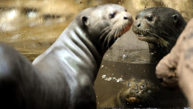 A young giant otter swims in a Otter Sounds