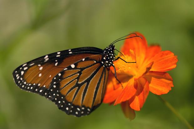 Sierra Chincua - Monarch butterflies - Pictures - CBS News