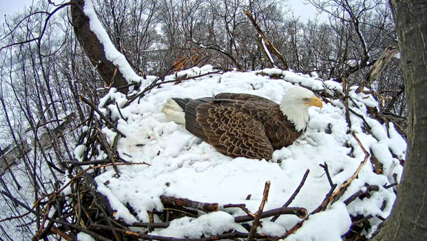 Watch Live Pa Bald Eagle S Nest Nears Hatching Time