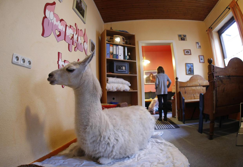 Уход за носухами в домашних условиях