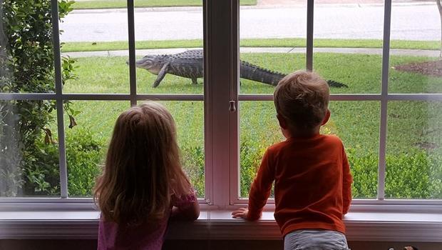 Giant Alligator Makes House Calls In S C Neighborhood