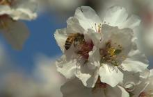 Bee thieves thrive as bee colonies collapse