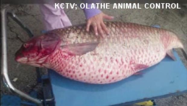 60 pound fish found dead in suburban kansas drainage ditch for Kansas city star fishing report