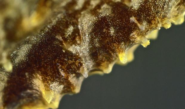 corythomantis-greeningi-spines.jpg