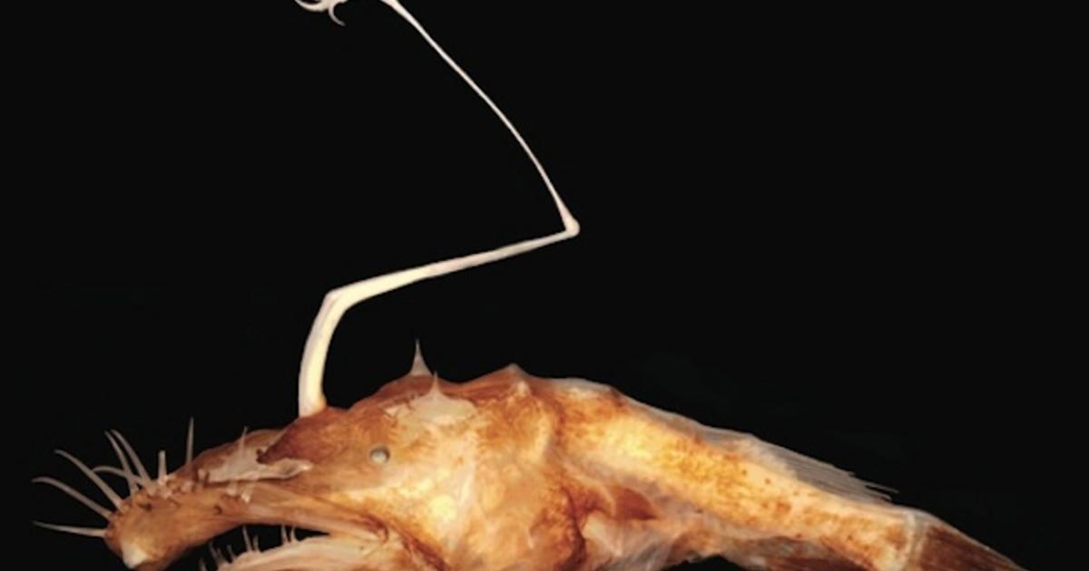 Alien of the deep has needle-sharp teeth, shiny head lure ... Theodore Pietsch