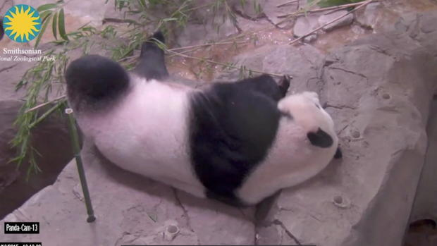 ctm0814reidpregnant-panda.jpg
