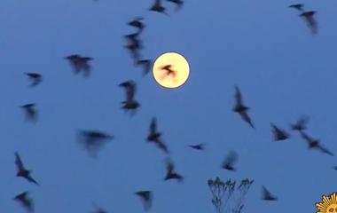 Nature: Bats