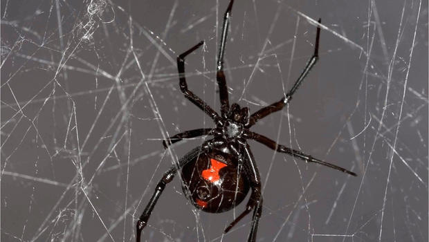 Cobwebs hold genetic secrets about spiders and their prey ...