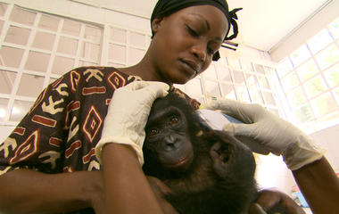 Bonobo diseases and human risk