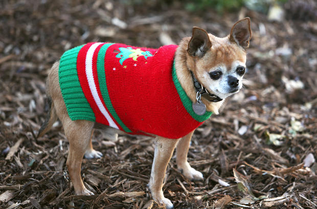 Pets in sweaters