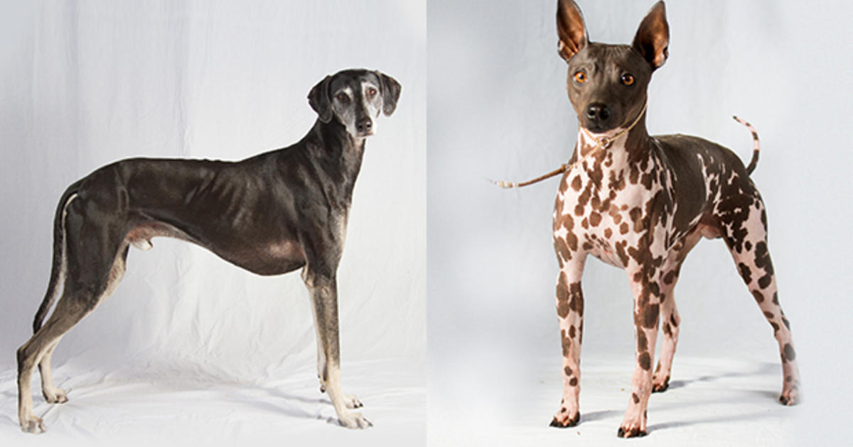 2 new dog breeds join American Kennel Clubs roster | MPR News
