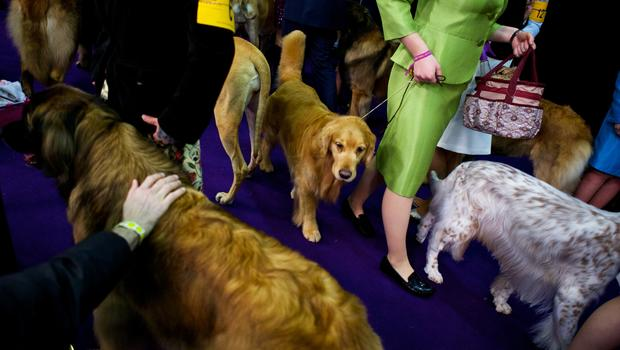 Is Westminster Dog Show Televised