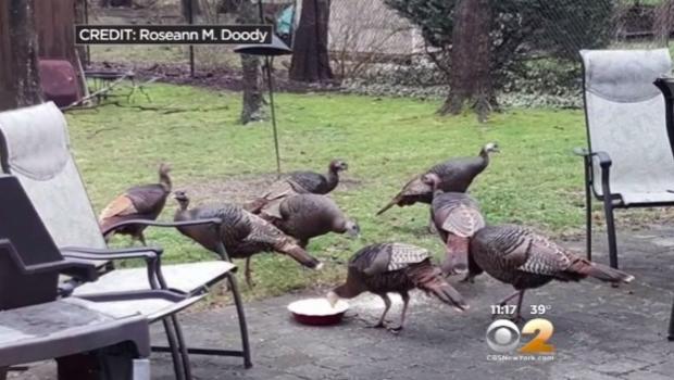 Gang Of Wild Turkeys Trap New Jersey Mailman In His Truck