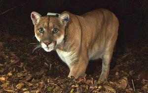Mountain lion attack victim - photo#43