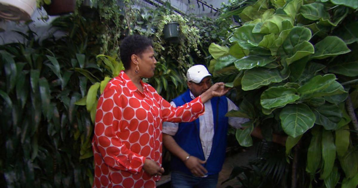 Fiddle Leaf Fig, the favored plant for home design