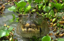 A closer look at alligators' true threat to people