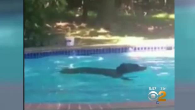 Bear takes a dip in new jersey pool cbs news for Bears in swimming pool new jersey
