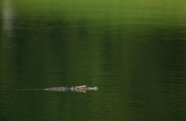 Alligator attacks