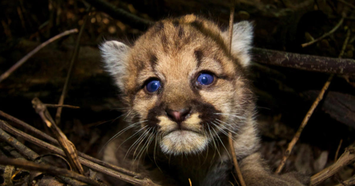 Mountain Lions of L.A.