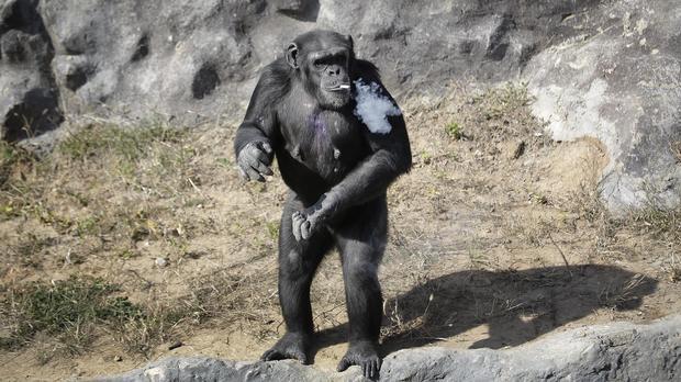 ap-smoking-chimp2.jpg