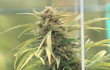 """""""60 Minutes"""" examines effects of marijuana on body"""