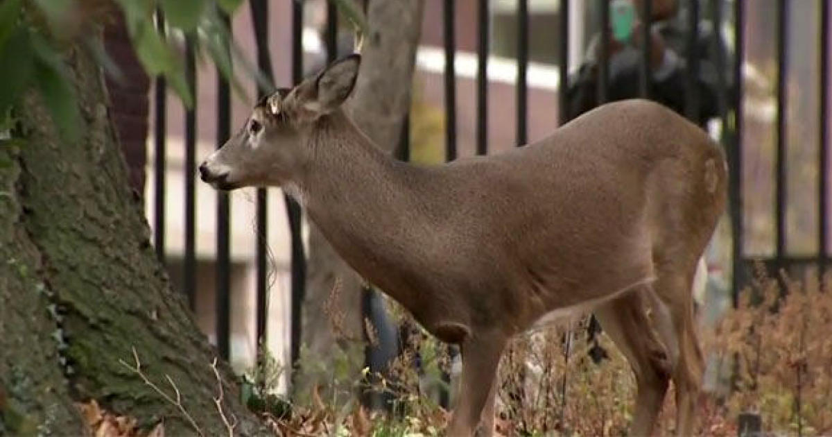 Deer Caught In New York City Park Dies While Waiting To Be