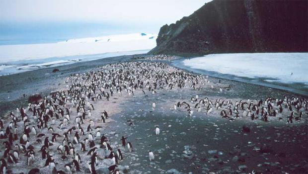 adelie-penguins-rookery-noaa-nesdis-ora.jpg