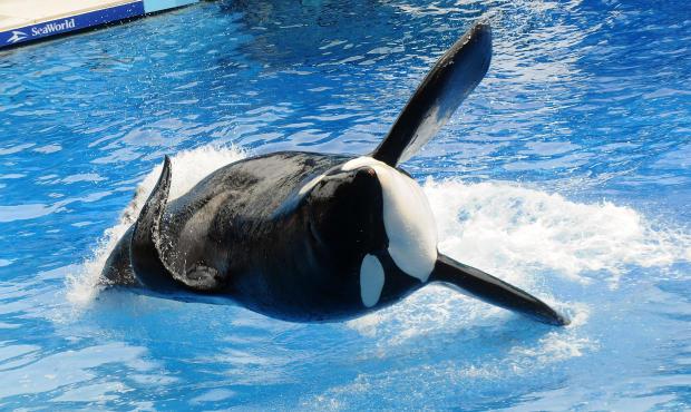"Killer Whale Tilikum于2011年3月30日在佛罗里达州奥兰多举行的海洋世界""Believe""节目中出现。"