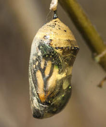 monarch-butterfly-before-emerging-from-chrysalis-verne-lehmberg.jpg