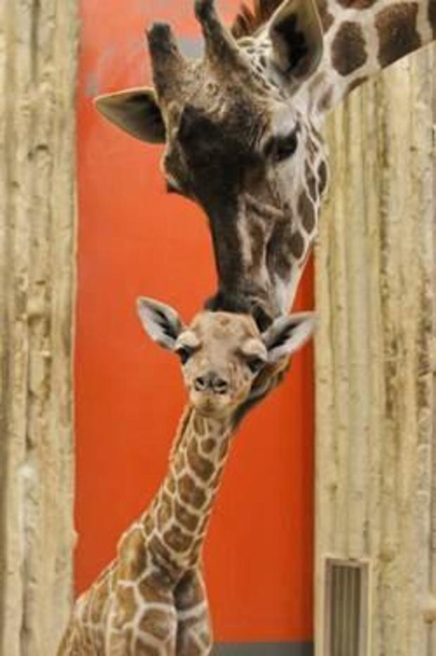 丹佛动物园婴儿长颈鹿2-2017-3-2.jpg