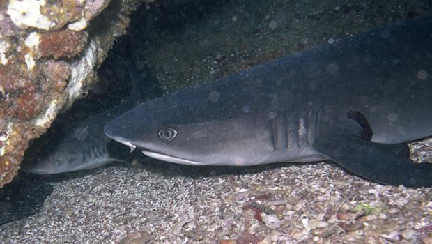 nurse-shark-verne-lehmberg-620.jpg