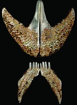 clingfish3.png