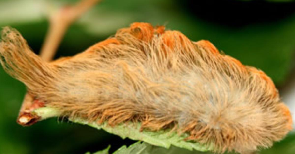 Puss caterpillar