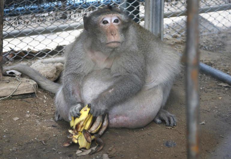 uncle-fat-thailand-monkey-ap-17139283497751.jpg
