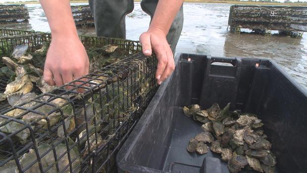 牡蛎收获-620.jpg
