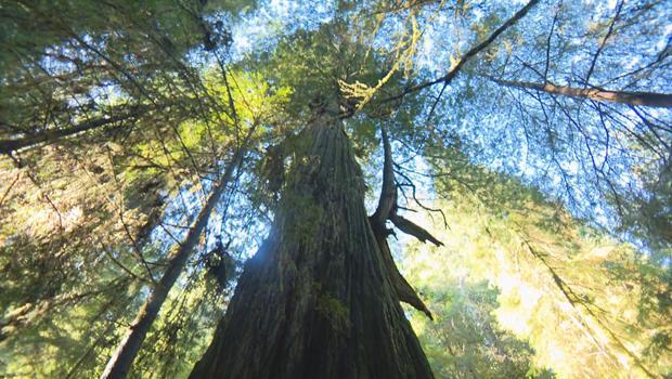 红杉树丛-的-巨头 -  620.jpg