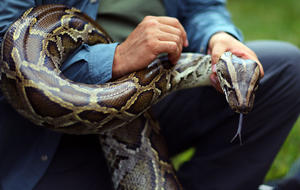 Burmese python invasion: Fighting invasive species