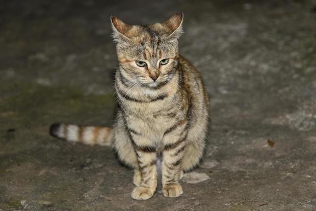 在Euboea上的流浪猫