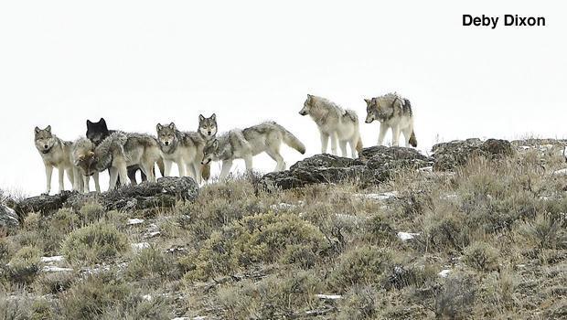 十的最马鹿湖 - 狼群功能于海登谷逐德比 - 迪克森-620-copy.jpg