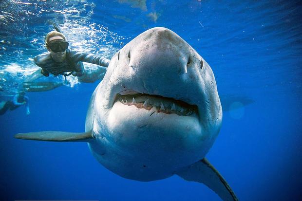 """一条鲨鱼被称为""""深蓝"""",是记录最多的人之一,在永利皇宫网址近海游泳"""