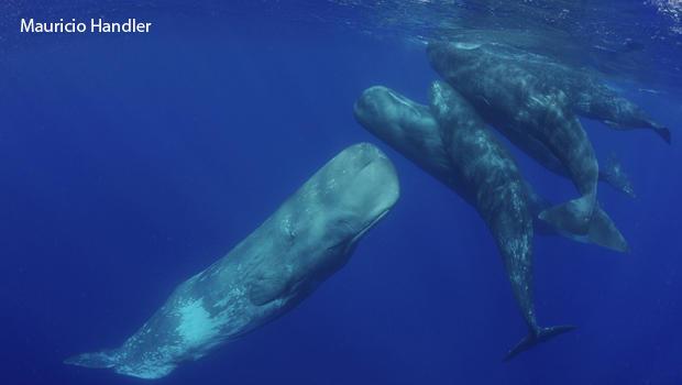 精子鲸 - 社交 - 处理 -  aquaterrafilms-620.jpg