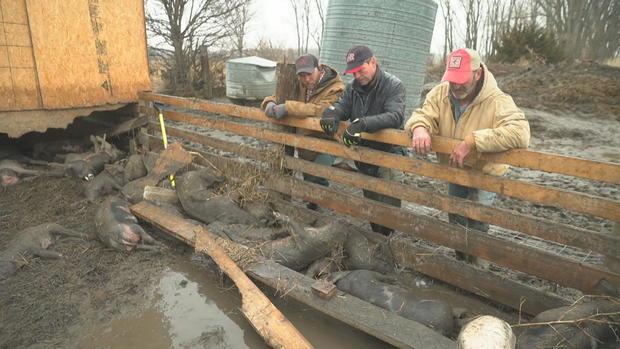 阿尔贝茨农场 - 死的猪 - 中西部 -  flooding.jpg