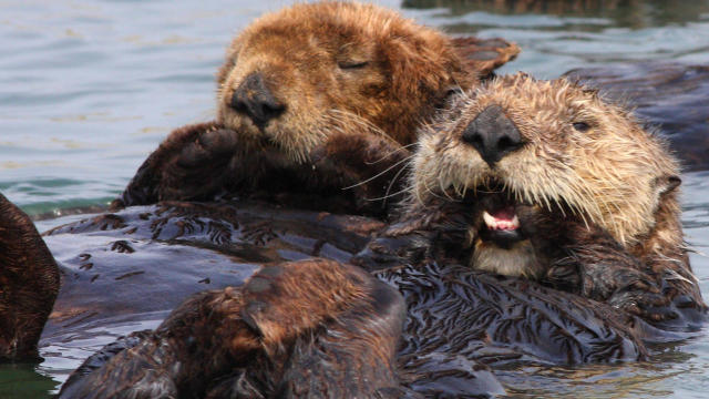 sea-otters-taking-a-rest-marcy-starnes-promo.jpg