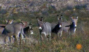 Wild burros of Texas