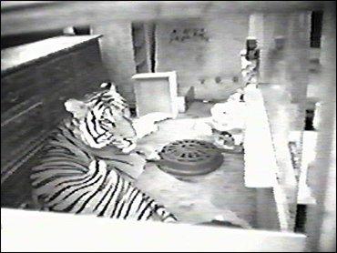 Pet Tiger Bites Nyc Man