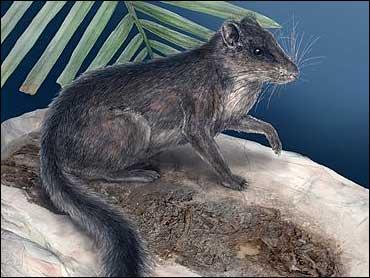 Ancient Rat Squirrel Rediscovered