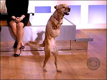 Dog Walks On Hind Legs Cbs News