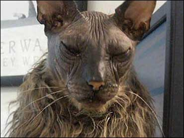 World's Ugliest Cat - CBS News