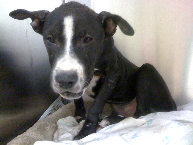 Pit Bull Puppy Used As Bait In Dog